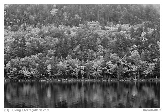 Hillside with trees in autumn colors and pond reflections. Acadia National Park (black and white)