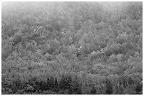 Trees in fall foliage on hillside beneath cliff. Acadia National Park, Maine, USA. (black and white)