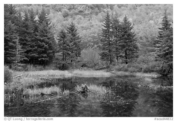 Pond and pine trees. Acadia National Park (black and white)