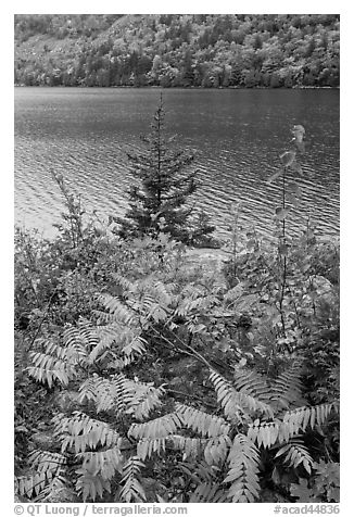 Ferns in autumn color, pine tree, and Jordan Pond. Acadia National Park (black and white)