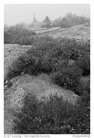 Lichen-covered rocks and red berry plants in fog, Cadillac Mountain. Acadia National Park (black and white)
