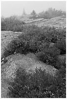 Lichen-covered rocks and red berry plants in fog, Cadillac Mountain. Acadia National Park, Maine, USA. (black and white)