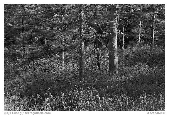 Forest and berry plants in winter, Isle Au Haut. Acadia National Park (black and white)