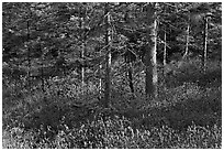 Forest and berry plants in winter, Isle Au Haut. Acadia National Park, Maine, USA. (black and white)