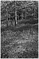 Bare berry plants and conifers, Bowditch Mountain, Isle Au Haut. Acadia National Park, Maine, USA. (black and white)