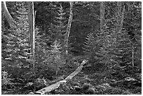 Forest trail with boardwalk, Isle Au Haut. Acadia National Park, Maine, USA. (black and white)