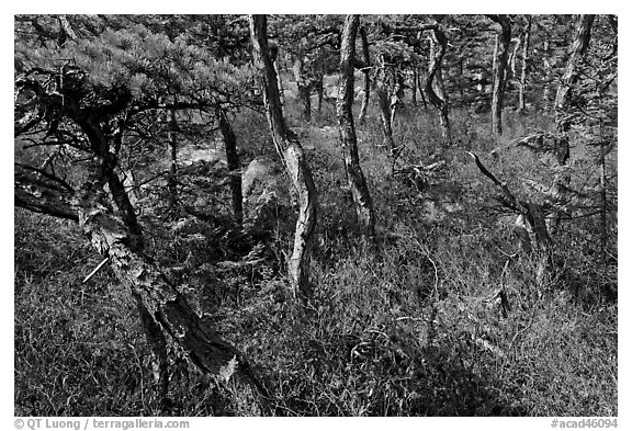 Twisted pine trees, Isle Au Haut. Acadia National Park (black and white)
