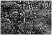 Twisted pine trees, Isle Au Haut. Acadia National Park, Maine, USA. (black and white)