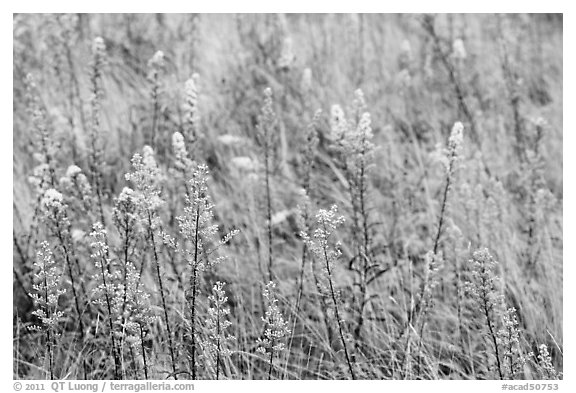 Goldenrods (Solidago) close-up. Acadia National Park (black and white)