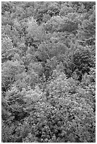 Deciduous tree canopy. Acadia National Park, Maine, USA. (black and white)