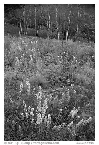 Goldenrods and birches. Acadia National Park (black and white)