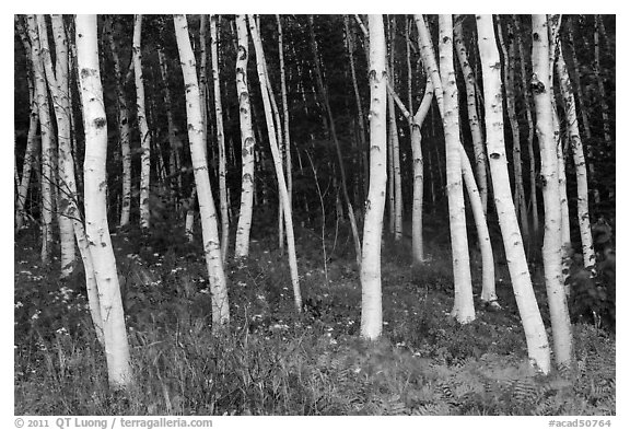 Birch tree trunks in summer. Acadia National Park (black and white)