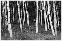 Birch tree trunks in summer. Acadia National Park, Maine, USA. (black and white)