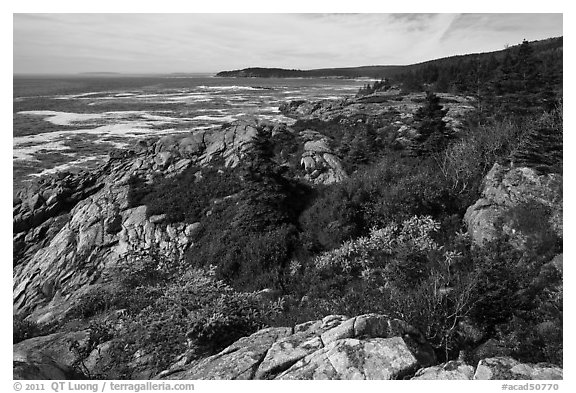 Berry foliage on jagged coast. Acadia National Park (black and white)