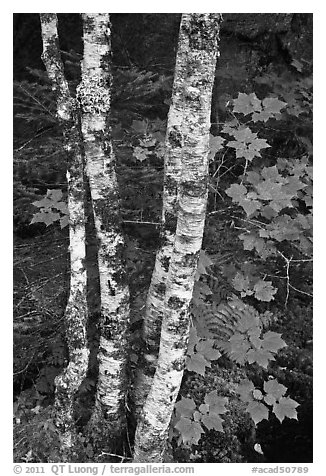 Maple leaves and birch trunks in summer. Acadia National Park (black and white)