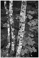 Maple leaves and birch trunks in summer. Acadia National Park, Maine, USA. (black and white)