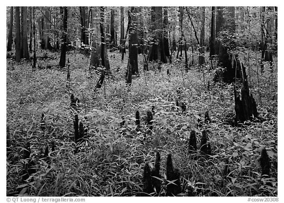 Dry swamp with cypress knees in summer. Congaree National Park (black and white)