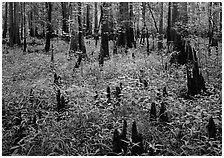 Dry swamp with cypress knees in summer. Congaree National Park ( black and white)