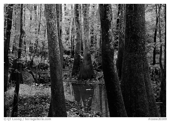 Swamp with bald Cypress and tupelo in summer. Congaree National Park (black and white)