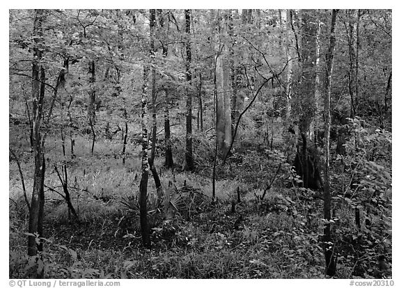 New undercanopy growth in summer. Congaree National Park (black and white)