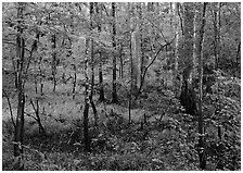 New undercanopy growth in summer. Congaree National Park, South Carolina, USA. (black and white)