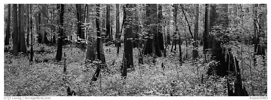 Green forest with cypress knees in summer. Congaree National Park (black and white)