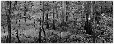 Floodplain hardwood forest in summer. Congaree National Park (Panoramic black and white)