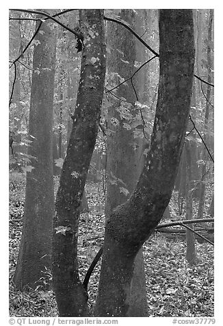 Maple leaves in fall color and floodplain trees. Congaree National Park (black and white)