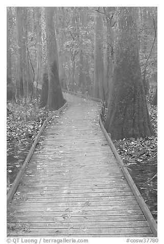 Low boardwalk in misty weather. Congaree National Park (black and white)