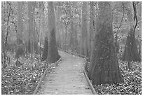 Boardwalk snaking between giant cypress trees in misty weather. Congaree National Park, South Carolina, USA. (black and white)
