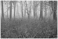Bamboo and forest in fog. Congaree National Park ( black and white)