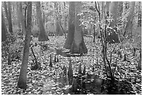 Cypress and knees in slough with fallen leaves. Congaree National Park, South Carolina, USA. (black and white)