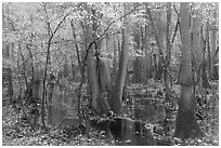 Flooded forest with fall color. Congaree National Park ( black and white)