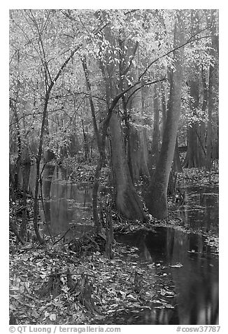 Trees with fall color in slough. Congaree National Park (black and white)