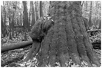 Base of giant bald cypress tree with burl. Congaree National Park ( black and white)