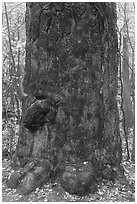Base of giant loblolly pine tree. Congaree National Park, South Carolina, USA. (black and white)