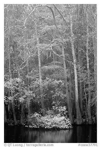 Fall colors at the edge of Weston Lake. Congaree National Park (black and white)