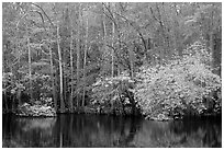 Cypress trees and autumn colors, Weston Lake. Congaree National Park ( black and white)