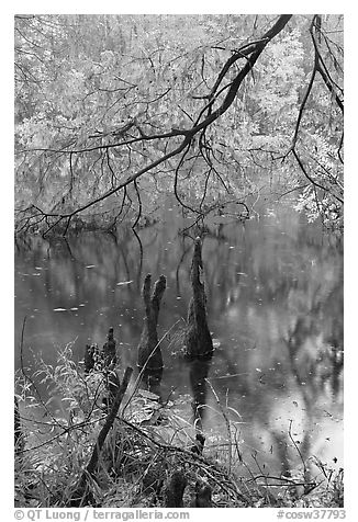 Branch of cypress in fall color overhanging above Weston Lake. Congaree National Park (black and white)