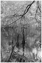 Branch of cypress in fall color overhanging above Weston Lake. Congaree National Park, South Carolina, USA. (black and white)