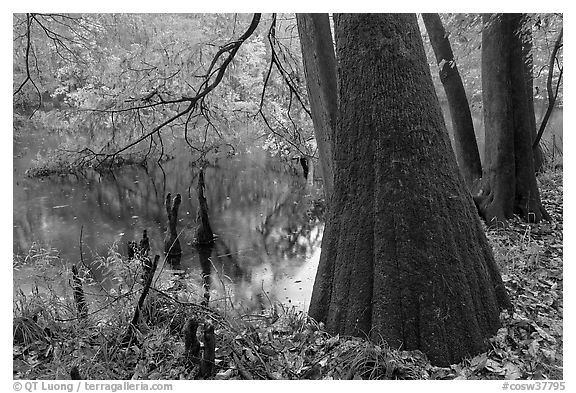 Bald cypress in fall color at edge of Weston Lake. Congaree National Park (black and white)