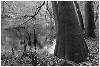 Bald cypress in fall color at edge of Weston Lake. Congaree National Park, South Carolina, USA. (black and white)