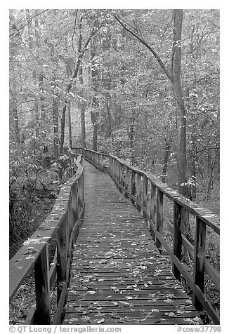 High boardwalk with fallen leaves. Congaree National Park (black and white)