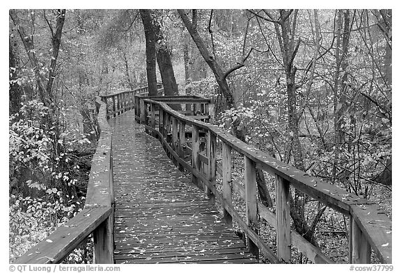 High boardwalk in deciduous forest with fallen leaves. Congaree National Park (black and white)