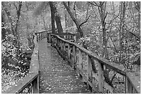 High boardwalk in deciduous forest with fallen leaves. Congaree National Park ( black and white)