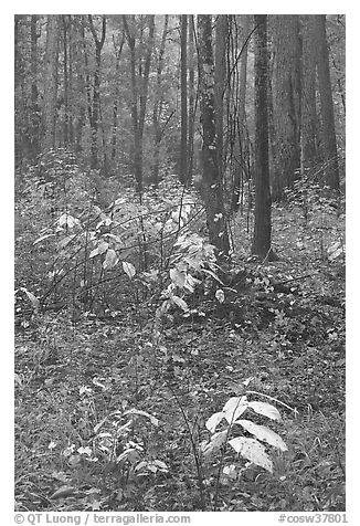 Fall colors on undergrowth in pine forest. Congaree National Park (black and white)