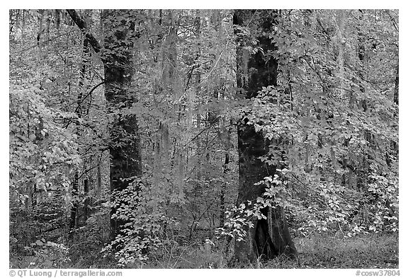 Trees with fall colors and spanish moss. Congaree National Park (black and white)