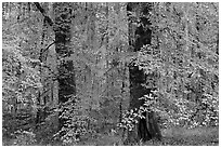 Trees with fall colors and spanish moss. Congaree National Park ( black and white)