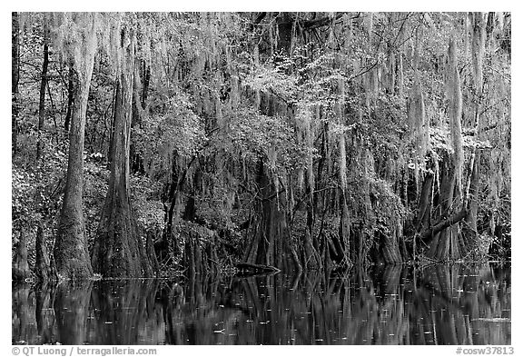 Spanish moss hanging from cypress at the edge of Cedar Creek. Congaree National Park (black and white)