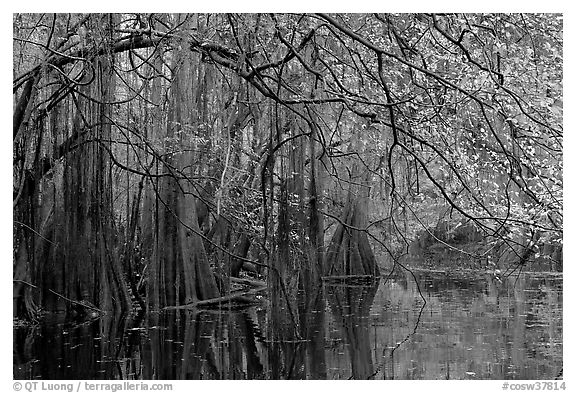 Bald cypress, spanish moss, and branches with fall colors over Cedar Creek. Congaree National Park (black and white)